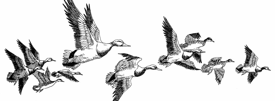 Fundraising art - ducks in flight - Katie Dobson Cundiff