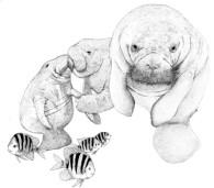 fundraising auction art - manatees - katie dobson cundiff